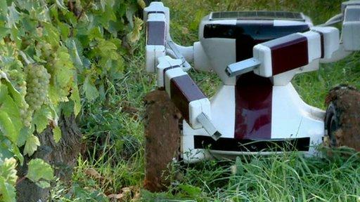 robot v vinogradu