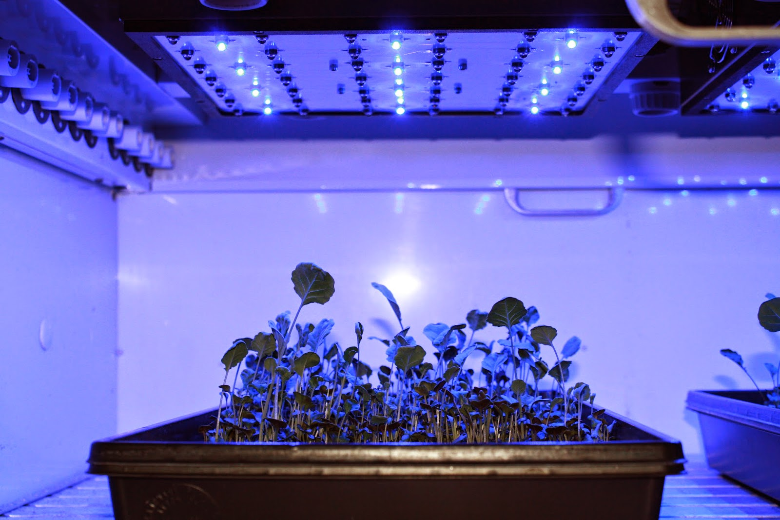 Blue-light LEDs and broccoli microgreens, Dean Kopsell, Univ. of Tenn.