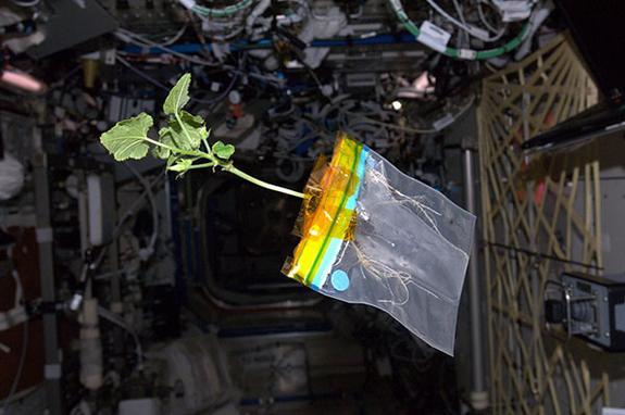 rastlina na ISS-ju