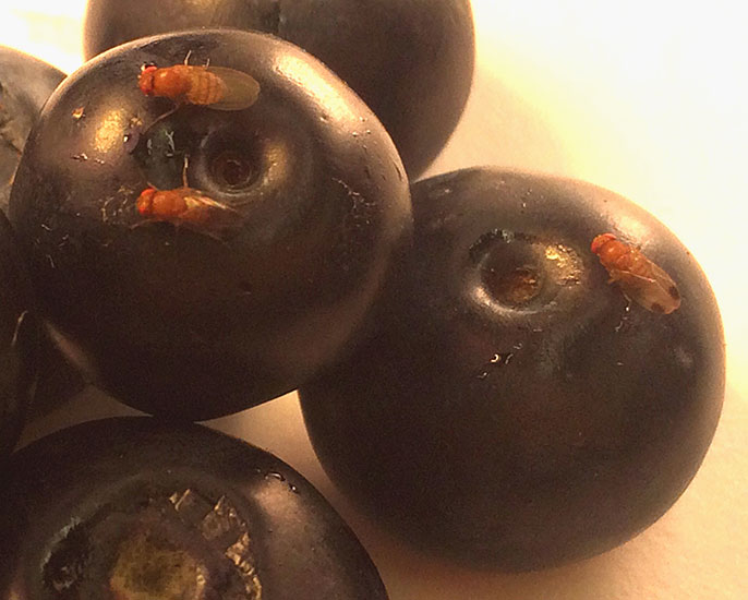 zaščita plodov