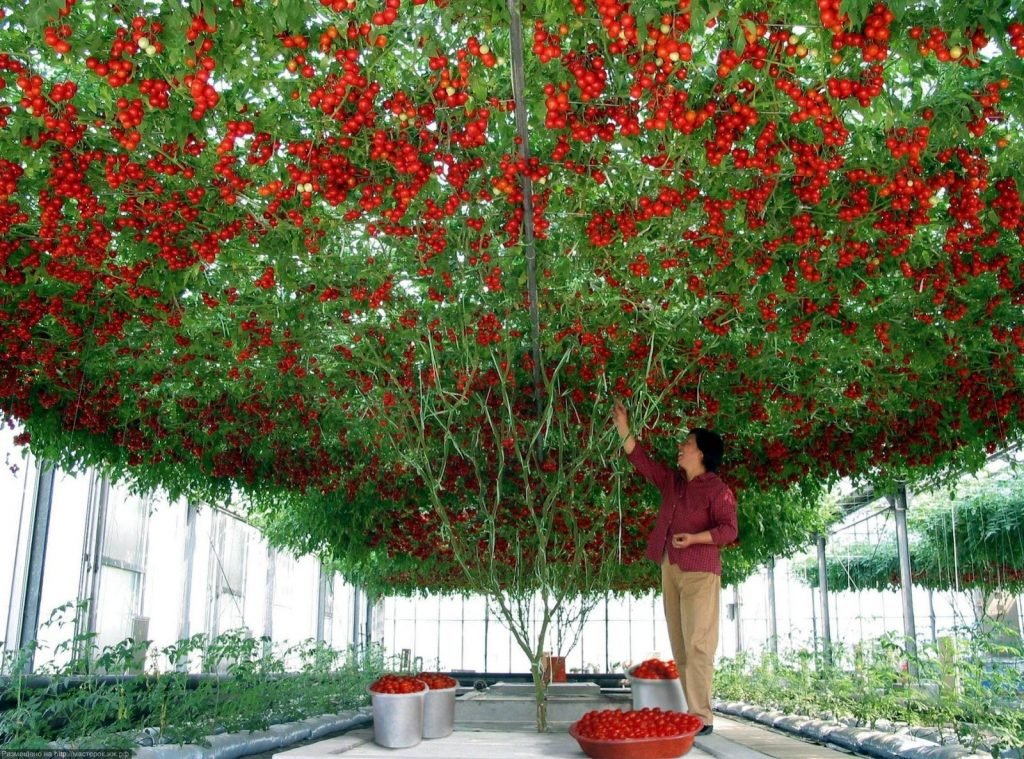 paradižnikovo drevo