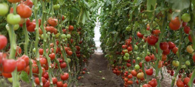 Tehnologija za zdravo in trajnostno pridelavo paradižnika